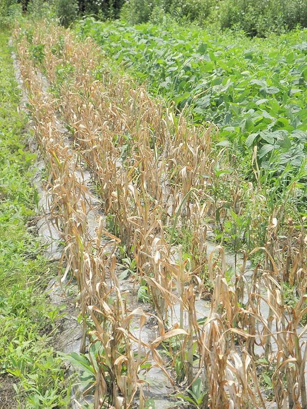 organic ユウファームのニンニク畑【ニンニク短期留学2011】