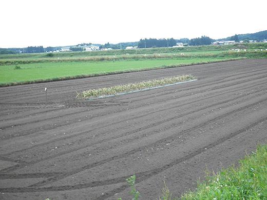 ヒロシさんのニンニク畑